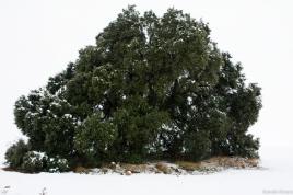 La encina milenaria nevada.