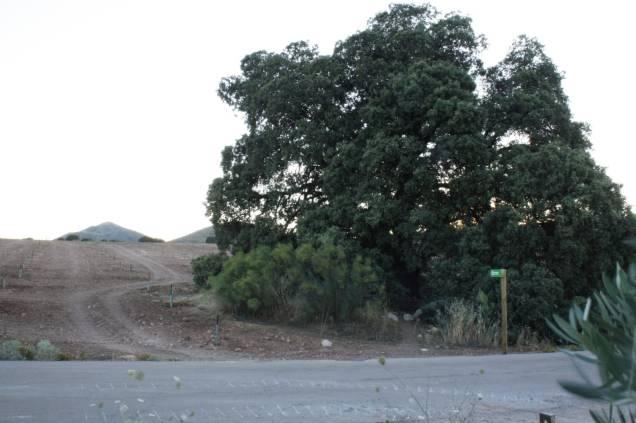 Los olivos sembrados en la parcela donde se ubica la Encina Milenaria quedan a escasos metros de sus ramas.